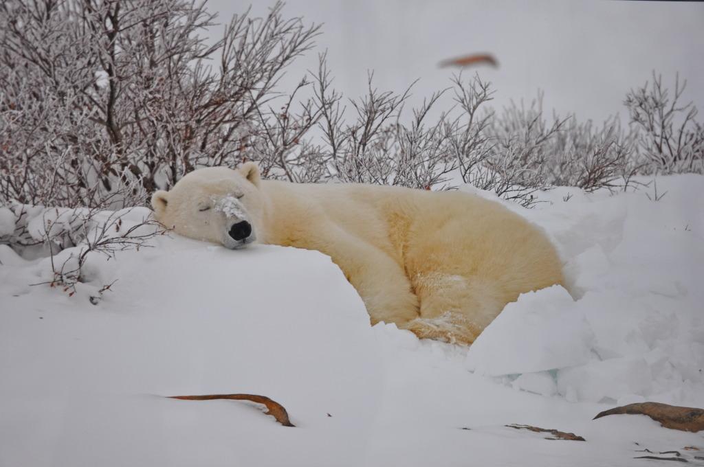 Białe niedźwiedzie w Moskwie